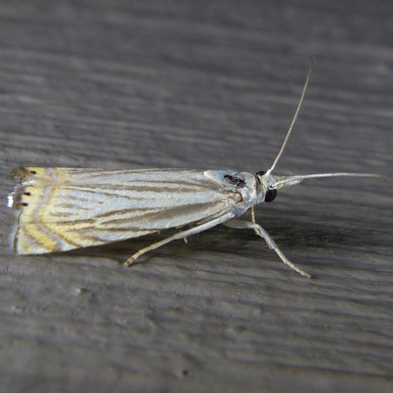 chrysoteuchia-topiarius-7-4-14-1
