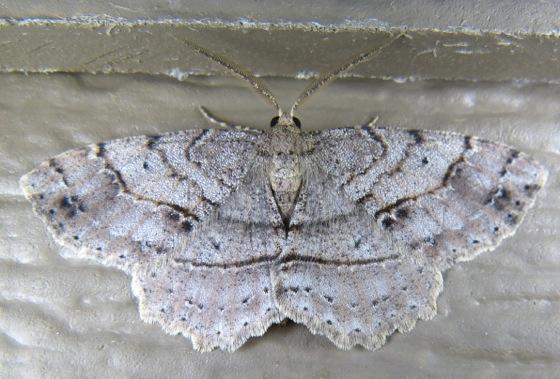 Melanolophia signataria 5-16-13 1