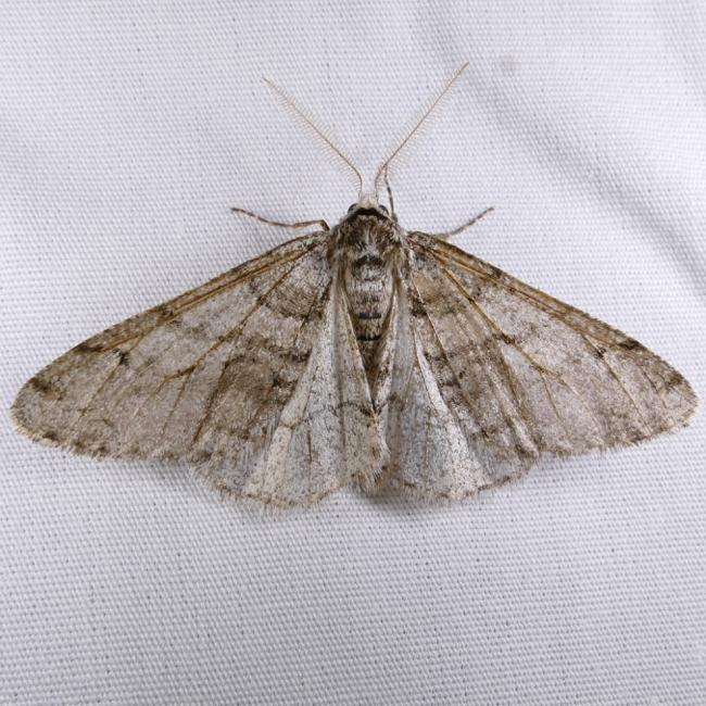 Phigalia titea 4-15-15 1