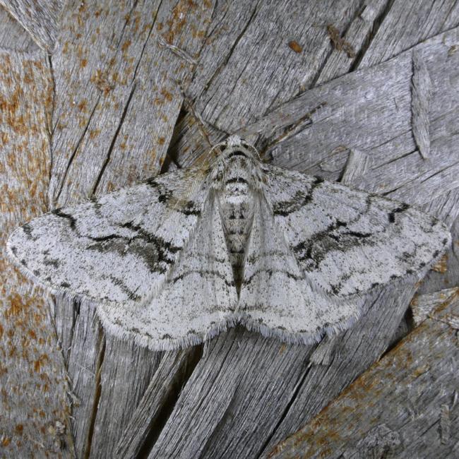 Phigalia titea 4-17-15 1
