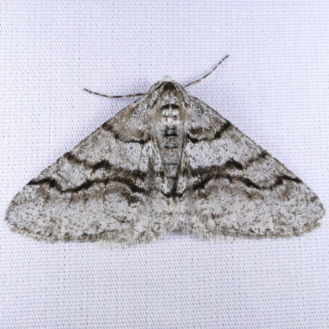 Phigalia titea 4-17-15 2