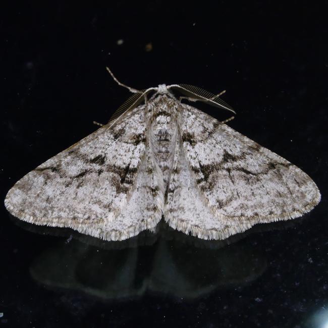 Phigalia titea 4-6-15 1
