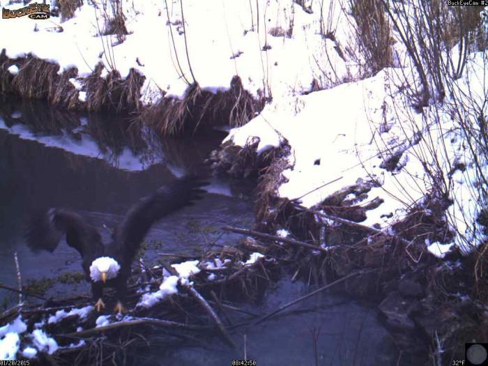 bald eagle 1-20-15 8