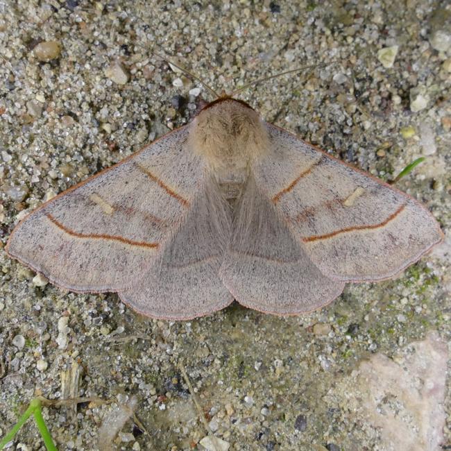 Panopoda rufimargo 5-28-15 1