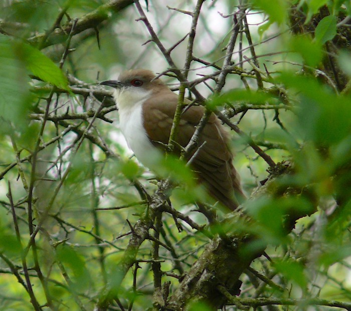Black-billed Cuckoo 5-25-08 1