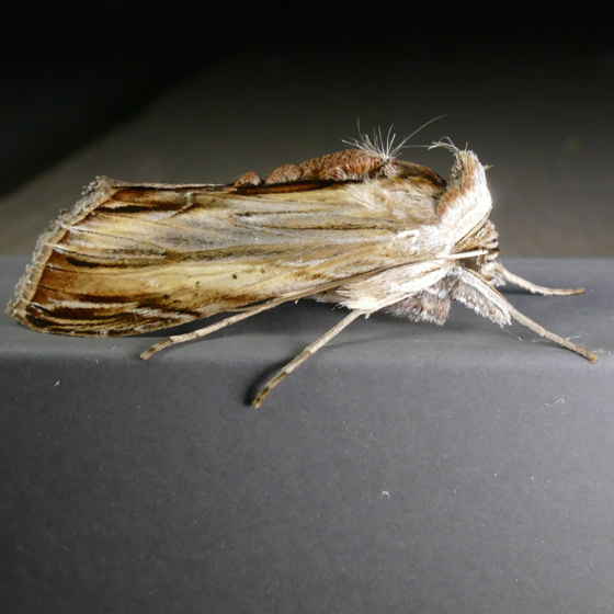Cucullia convexipennis 8-2-14 8