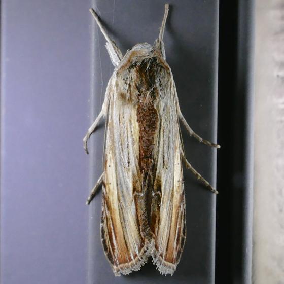 Cucullia convexipennis 8-2-14 9
