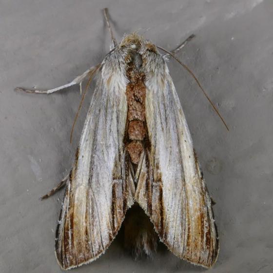 Cucullia convexipennis 8-23-14 1