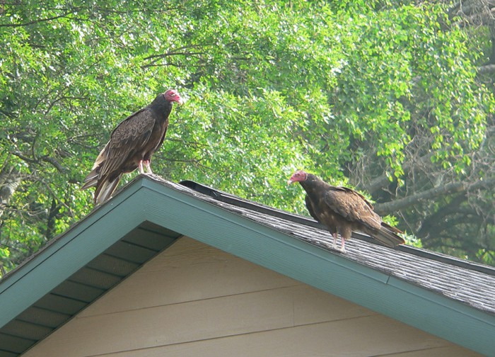 Turkey Vultures 6-17-07