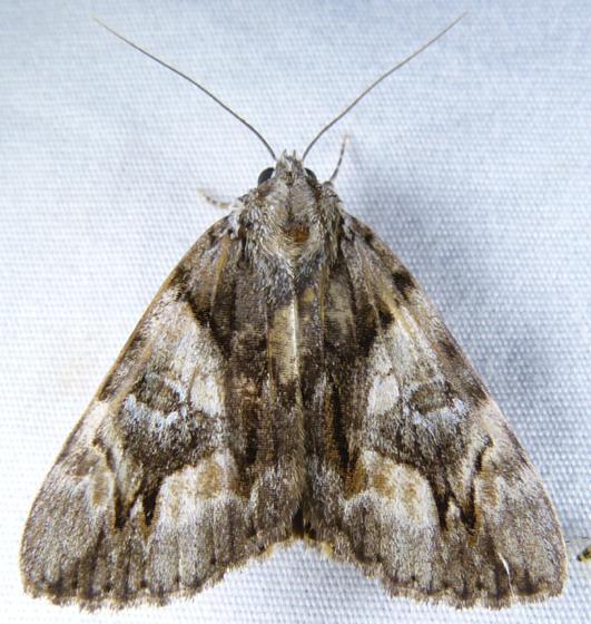 Catocala blandula T 7-26-14 1