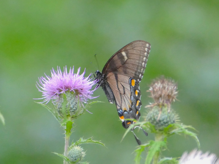 Black Tiger Swallowtail