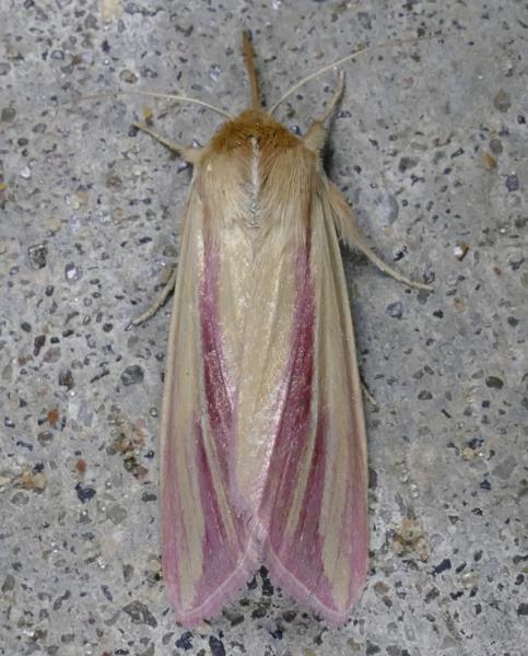 Dargida rubripennis The Pink Streak 8-22-14 1
