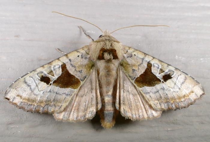 Phlogophora periculosa 8-23-14 L