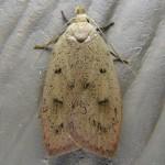 Family Amphisbatidae