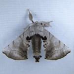 Family Bombycidae