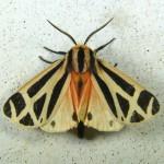 Family Erebidae