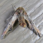 Family Euteliidae