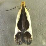 Family Gelechiidae
