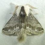 Family Lasiocampidae
