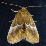 Family Limacodidae