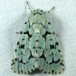 Family Noctuidae