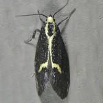 Family Oecophoridae