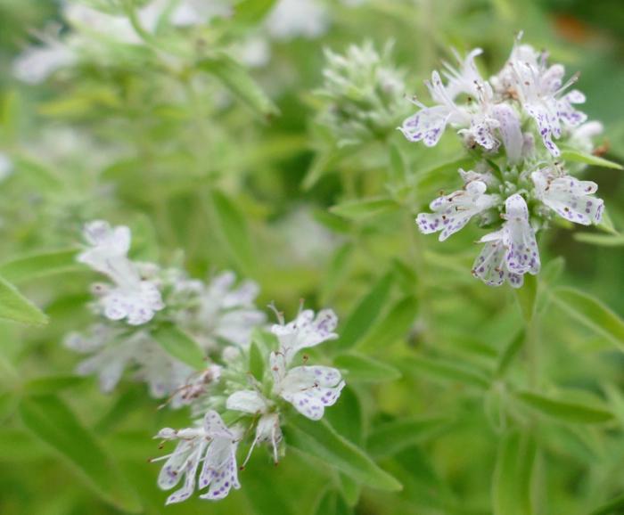 Pycnanthemum pilosum 9-9-14 1