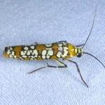 Family Yponomeutidae
