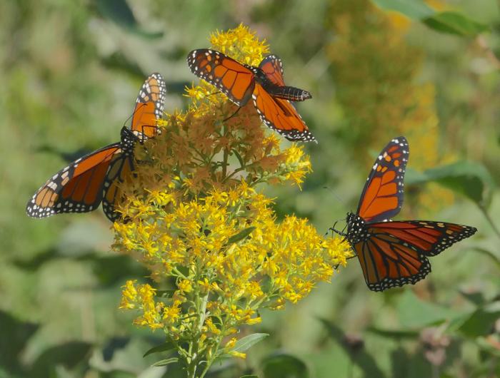 monarchs 9-6-14