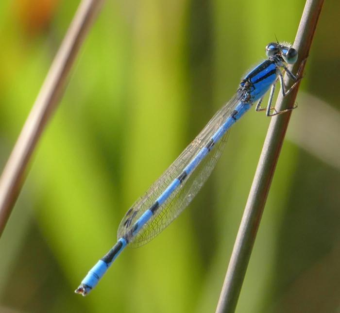 Marsh Bluet T 9-20-14 1