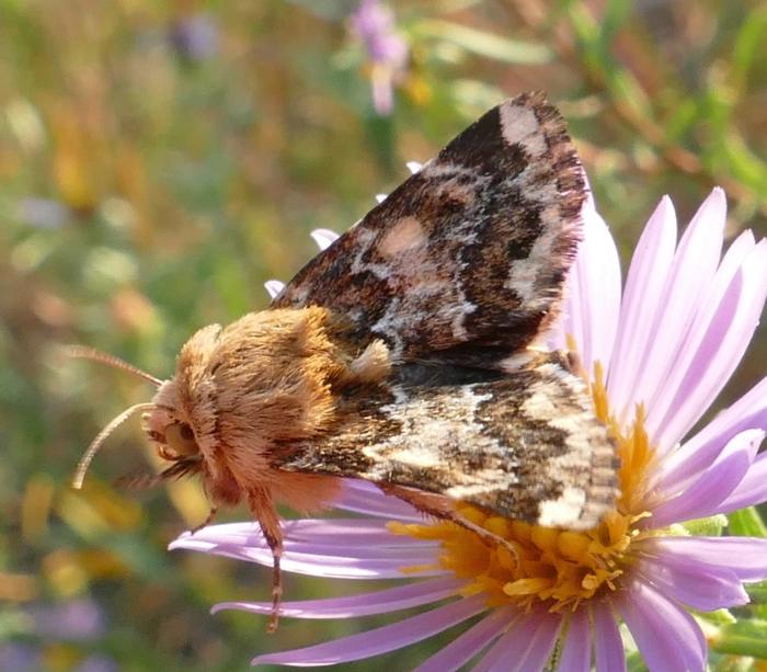 Schinia septentrionalis 9-18-14 4