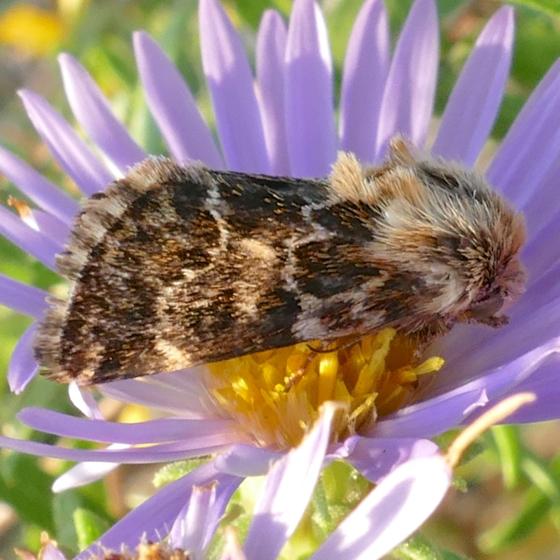 Schinia septentrionalis 9-18-14 9