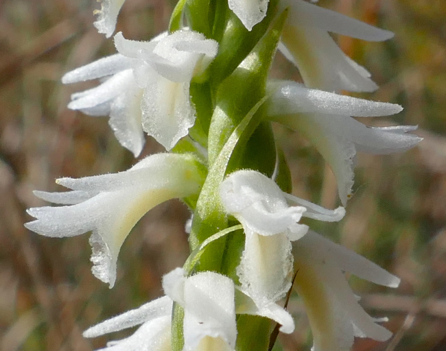 Spiranthes magnicamporum 9-20-14 1