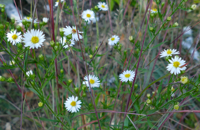 frost aster and little bluestem