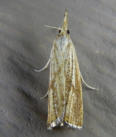 Agriphila ruricolella 8-25-12 2