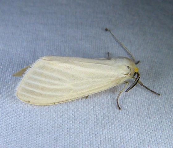 Cycnia oregonensis 5-29-14 1