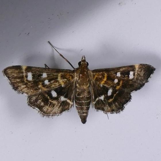 Diathrausta reconditalis 8-22-14 8