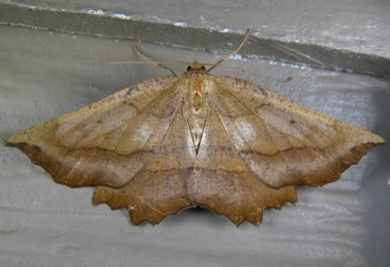 Euchlaena obtusaria 7-3-13 1
