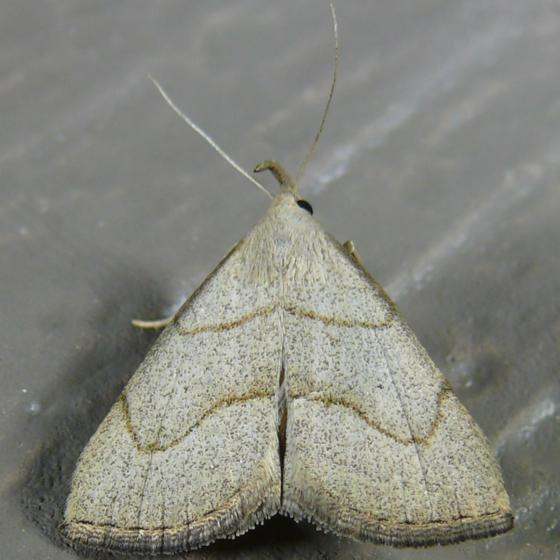 Macrochilo litophora 7-11-11 9