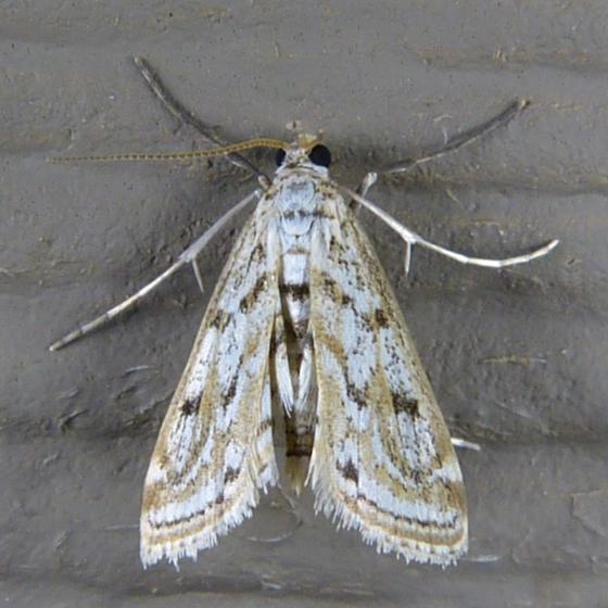 Parapoynx allionealis 7-23-14 8