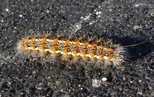 Simyra henrici caterpillar 9-27-15 1