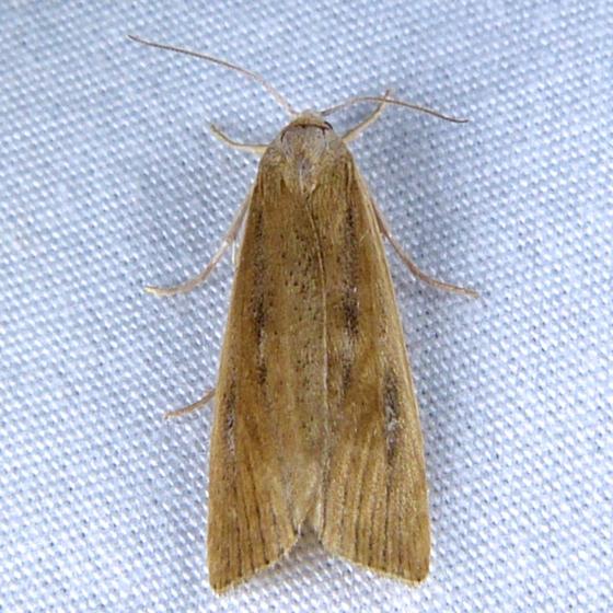 Thopeutis forbesellus T 7-23-14 9