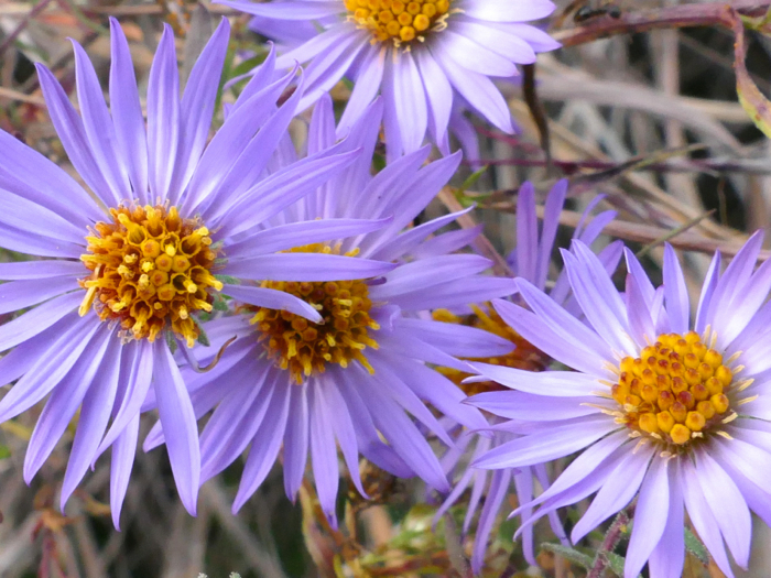 aromatic aster 10-26-14 2