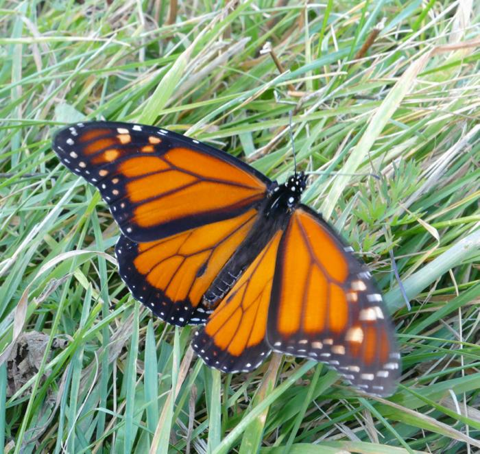 monarch 10-26-14
