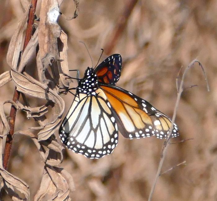 monarch 11-2-14