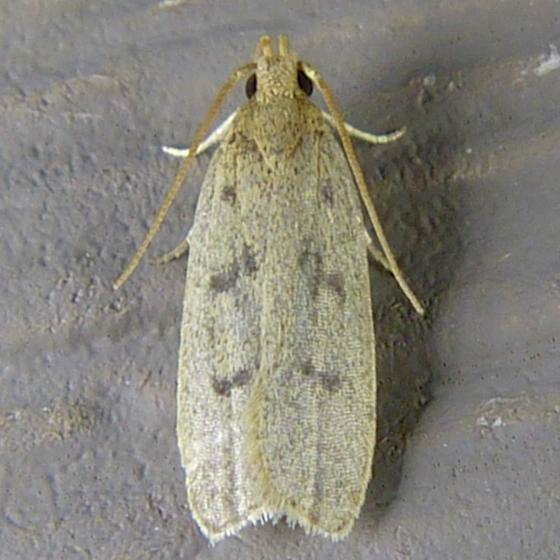 Glyphidocera septentrionella T 7-4-14 9
