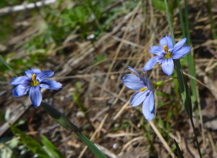 5-23-14 2 Blue eyed grass