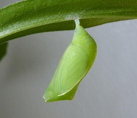 6-16-12 chrysalis