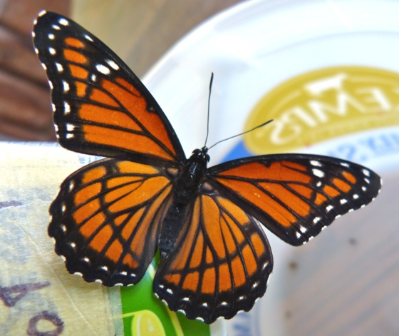 7-8-12 viceroy adult