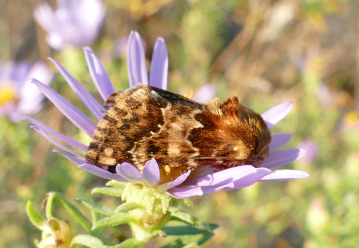 9-18-14 2 flower moths